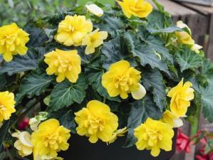 Бегония Ампельная Joy Yellow