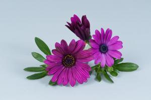 Остеоспермум Ампельный Osticade Purple