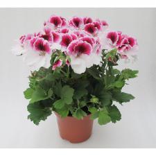 Пеларгония Крупноцвет Florella Bicolour