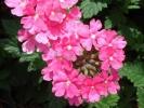 Вербена Quartz ХР Pink