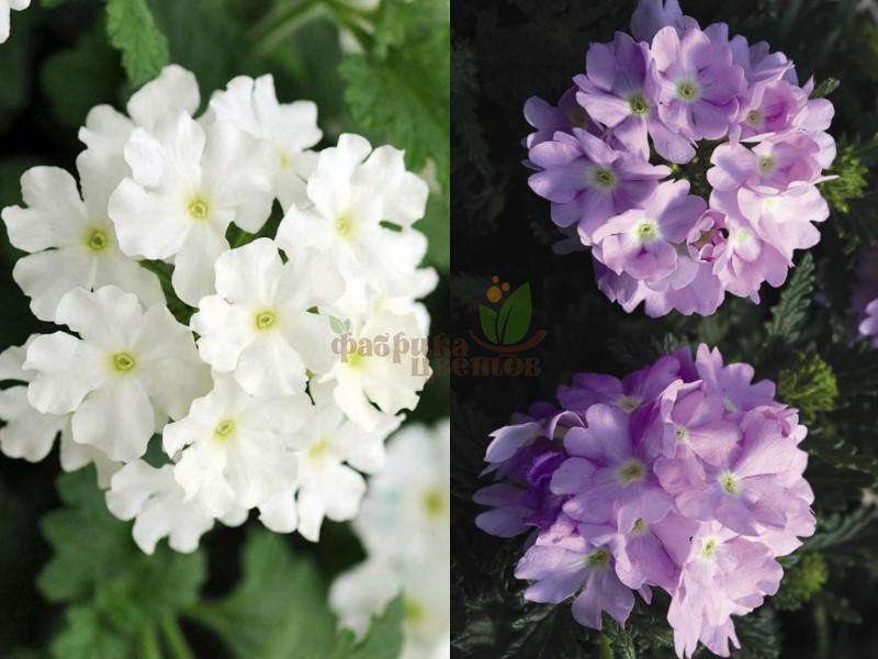 Вербена Ампельная MIX Lilac /White арт.08/36