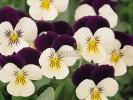 Виола Cornet White Violet
