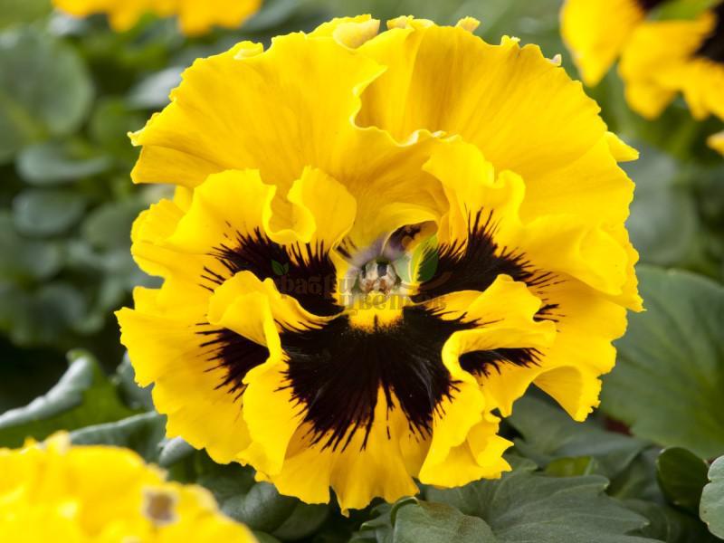Виола Frizzle Sizzle Yellow