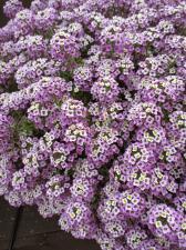 Лобулярия Ампельная Bicolor Lilac